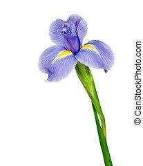 beau, iris, fleur, pourpre, isolé, fond foncé, blanc