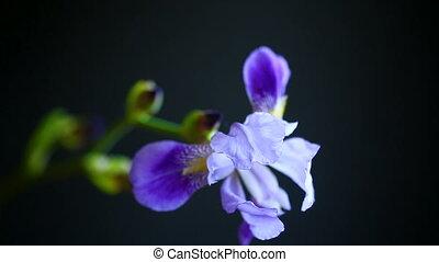 beau, iris, fleur, violet