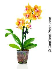 beau, isolé, jaune, pot, blanc, orchidée