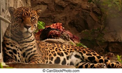 beau, jaguar, coup, mi