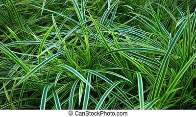 beau, jardin, herbe, décoratif