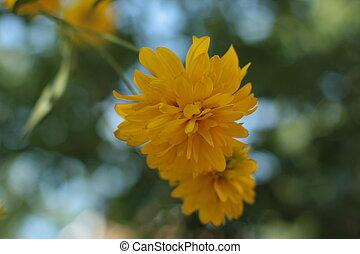 beau, jardin, printemps, jaune, closeup, fond, fleurs