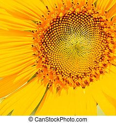 beau, jaune, tournesol