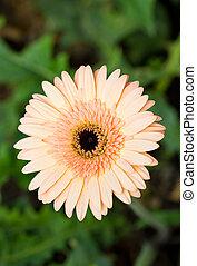 (beau)., kwiat, gerbera