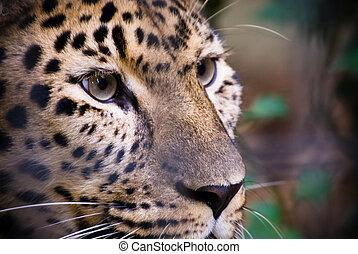 beau, léopard