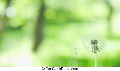 beau, lent, pissenlit, voler, motion., brouillé, graines, arrière-plan vert, herbe, 1920x1080