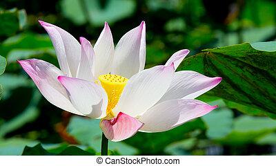 beau, lotus fleur, nénuphar, ou