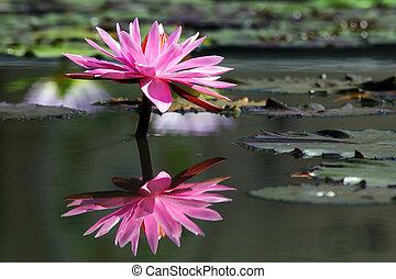 beau, lotus fleur, reflet