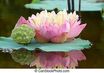 beau, lotus, flower.