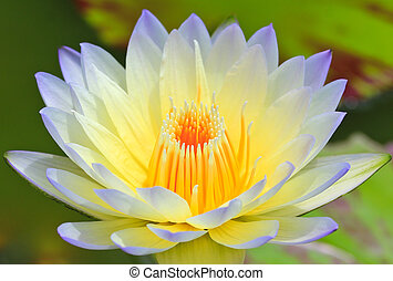 beau, lotus, fond