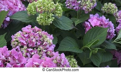 beau, macrophylla, beauté, hortensia, -, flowers., buisson, nature.