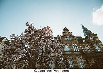 beau, mois, arbre, magnolia, mars, baldaquin, fleur, entiers, fleurs, stellata