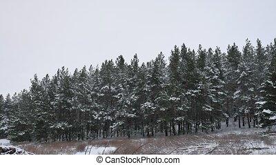 beau, nature hiver, arbre, neige, forêt pin, fond, noël, paysage