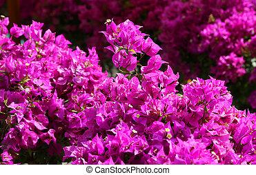beau, pétales, fond, magenta, fleurs, fleur