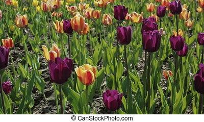 beau, parterre fleurs, tulips., coloré