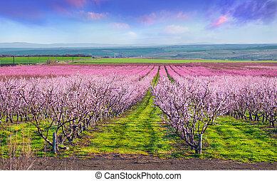 beau, paysage, extérieur, coloré, pêche, istanbul., april., vergers, turquie, fleurir, europe., levers de soleil, jardin