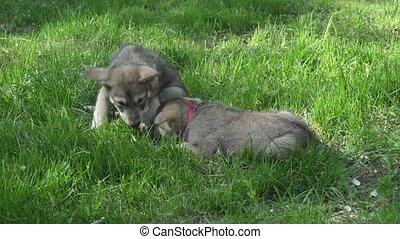 beau, pelouse, wolfhound, saarloos, parc, vert, amuser, chiots, jouer