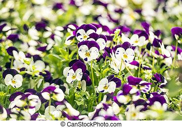 beau, pensée, fleurs, jardin