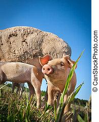 Images photographiques de cochon 126 097 photographies et - Dessin cochon debout ...
