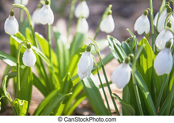beau, photo, traitement, ensoleillé, foyer, space., day., tendre, forêt, fond, printemps, perce-neige, copie, doux