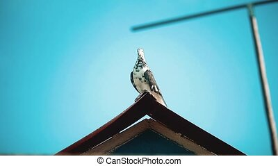 beau, pigeon, brouillé, clair, roof., portrait, développé,...