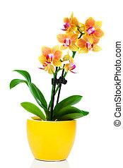beau, pot, isolé, jaune, blanc, orchidée