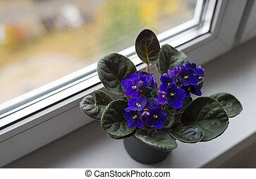 beau, pot, rebord fenêtre, violet