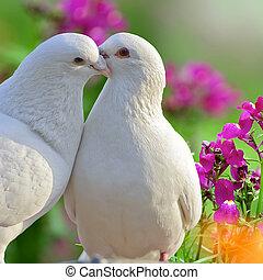 beau, pourpre, deux, fleurs blanches, colombes, aimer
