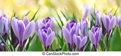 beau, pourpre, fleurir, jardin, colchique