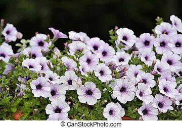 beau, pourpre, fleurs blanches, pétunia