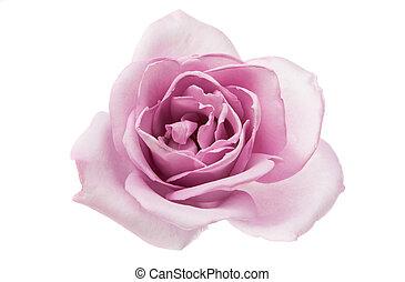 beau, pourpre, rose