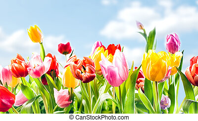 beau, printemps, botanique, fond, tulipes
