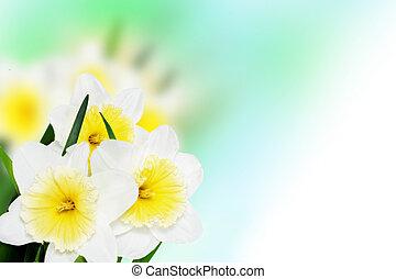 beau, printemps, (daffodil), fond, fleurs, -narcissus