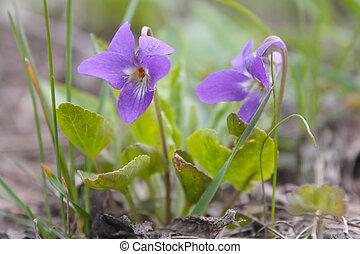 beau, printemps, fleur violette, dans, printemps, herbe