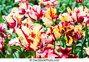 beau, printemps, flowers., tulipes