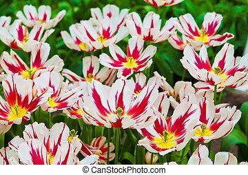 beau, printemps, flowers., tulipes