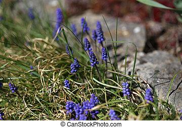 beau, printemps, jacinthes, fleurs