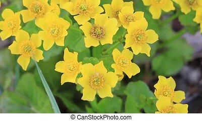 beau, printemps, jaune, marais, fleurs, grandir