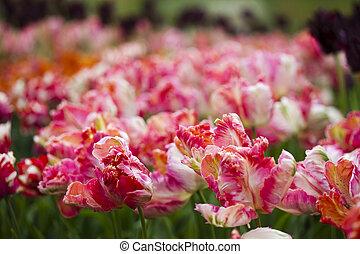 beau, printemps, tulipe
