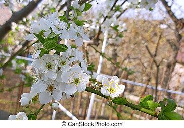 beau, prunus, printemps, arbre, pétales, fleurir, blanc