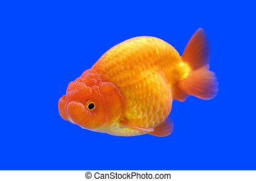 Beau t te lion poisson rouge ranchu ou beau t te for Tarif poisson rouge