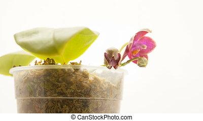 beau, rare, pot, fond, blanc, orchidée