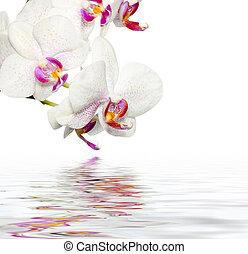 beau, reflet, orchidées