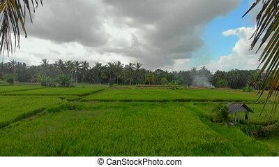 beau, riz, entouré, vert, aérien, arbres, paume, coup, champ