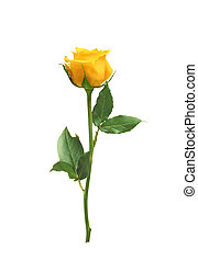 beau, rose, blanc, isolé, jaune