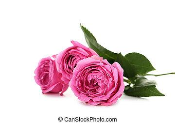 beau, rose, blanc, isolé, roses
