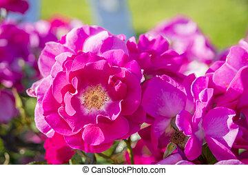beau, rose, délicat, jardin, coloré