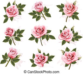 beau, rose, ensemble, roses., vector.