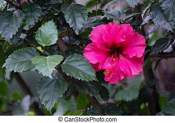 beau, rose, fleur unique
