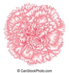 beau, rose, isolé, arrière-plan., oeillet, blanc